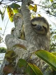 Paresseux-arbre-180x240