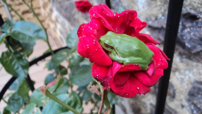grenouille-rose