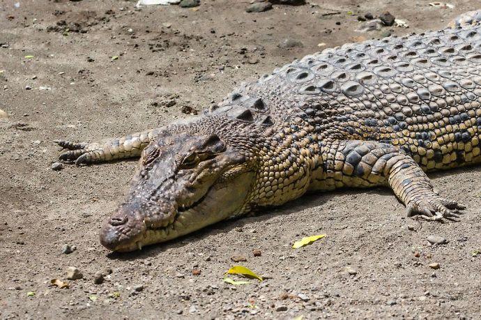 crocodile_(Crocodylus_porosus),_Gembira_Loka_Zoo,_2015-03-15_01